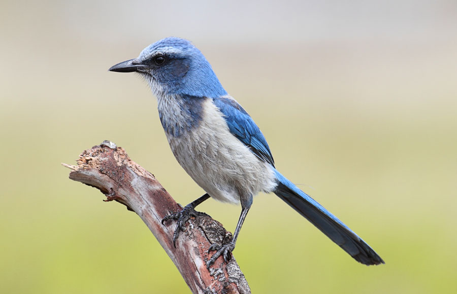 The Migratory Bird Treaty Act includes protection of birds such as the Florida scrub jay.