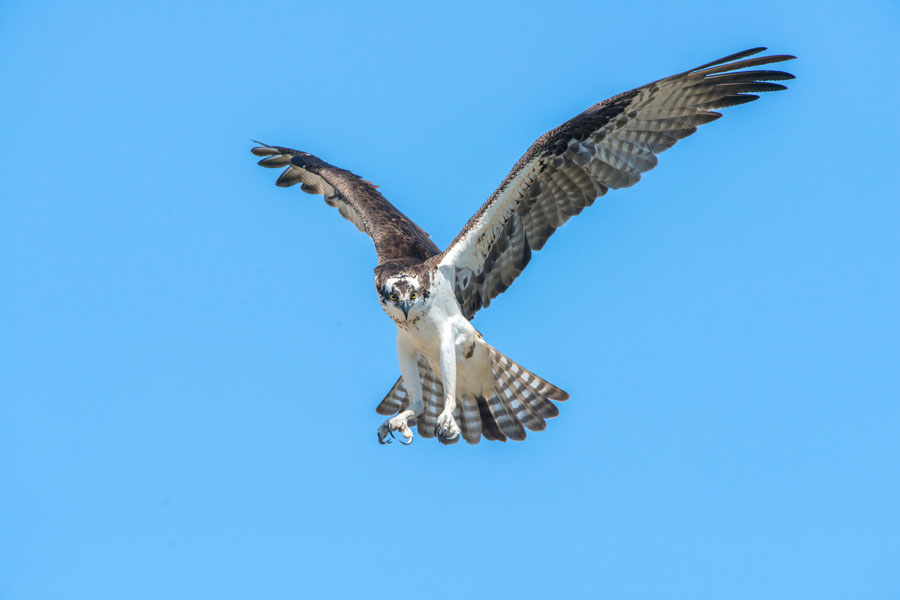 An Osprey flying in Edgewater, Florida. Photo credit ShutterStock.com, licensed.