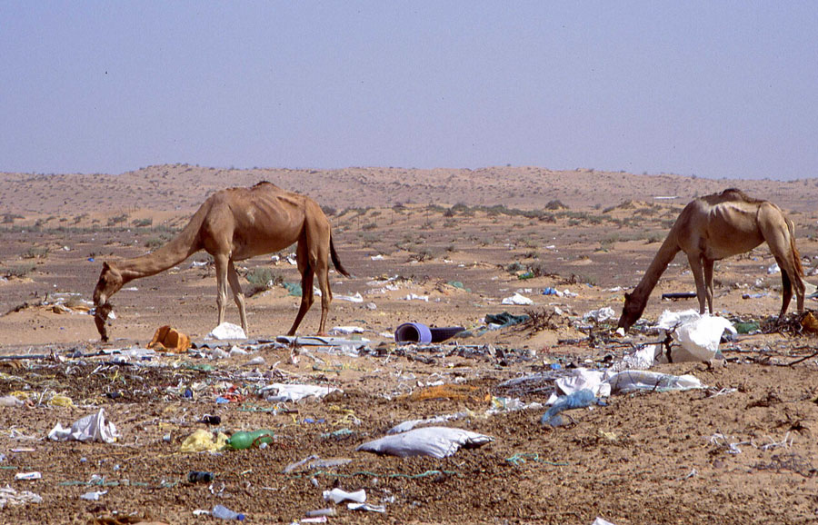 New Study Shows Desert Camels Dying From Ingesting Plastic Bags; Findings Cause Researchers, Others to Call for Radical Shift