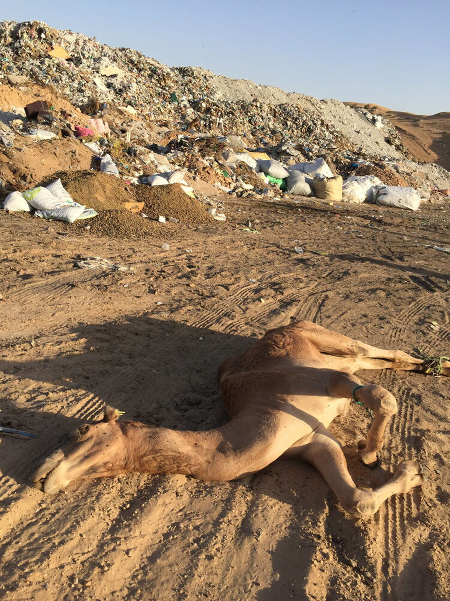 A new study shows desert camels are dying from ingesting plastic bags; the findings are causing researchers and others to call for a radical shift in the way we sound the plastic pollution alarm.