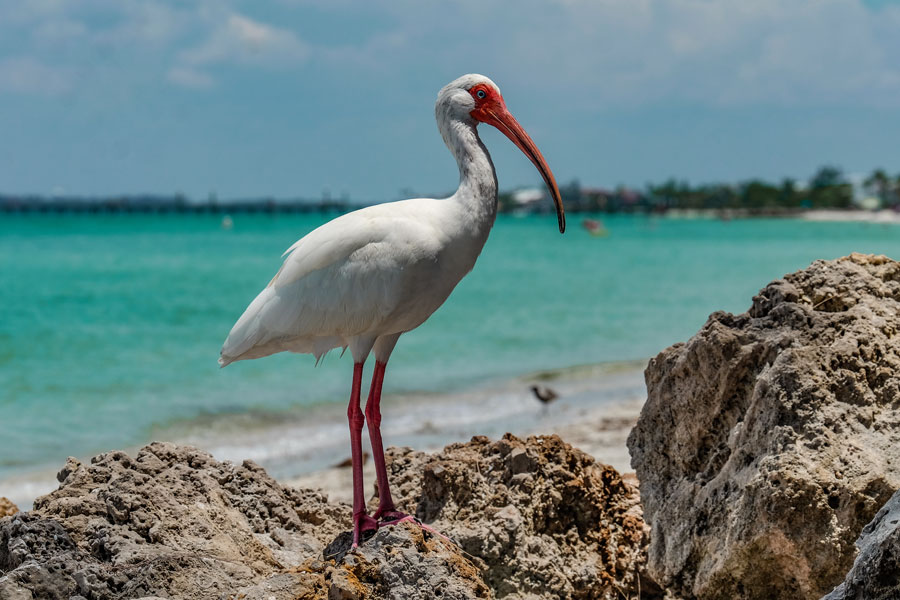 A great white Ibis on the beach of Anna Maria, Florida. Photo credit ShutterStock.com, licensed.