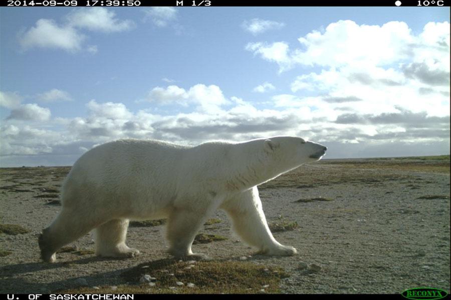 A polar bear captured by a trail camera in Wapusk National Park, Manitoba in 2014. Photo credit: Doug Clark/USask.