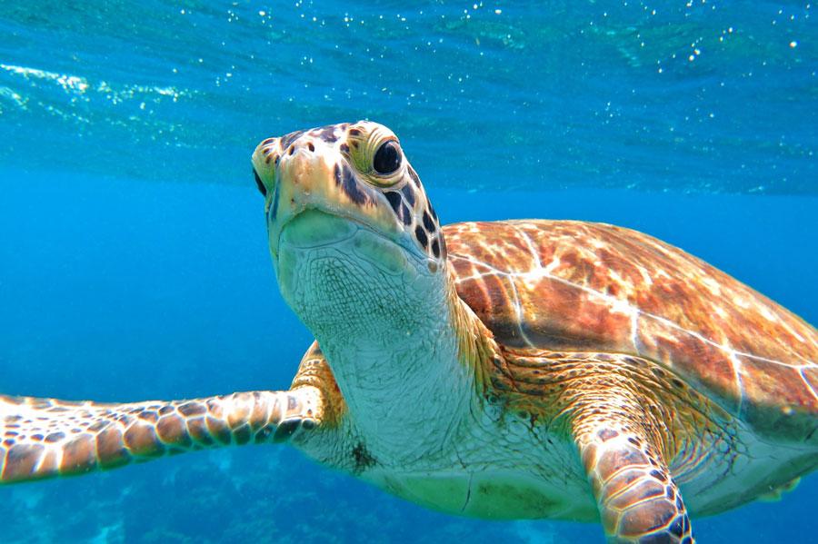 Sea turtle swimming close to a scuba diver. Photo credit ShutterStock.com, licensed.