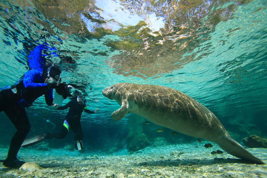 Swimming with the Manatees in Hot Springs, Crystal River, Florida. Photo credit ShutterStock.com, licensed.