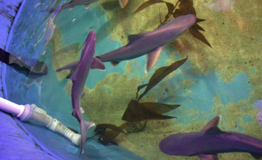 Some of the sharks seized in the plastic pool. Photo: New York State Department of Environmental Conservation