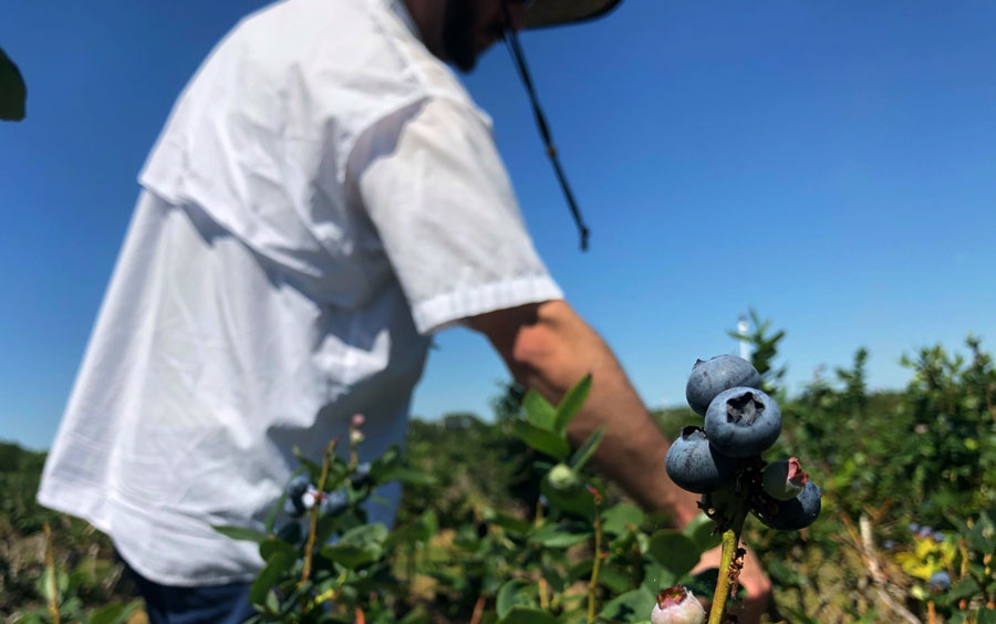 A man picks blueberries at a local blueberry farm. Photo credit ShutterStock.com, licensed.