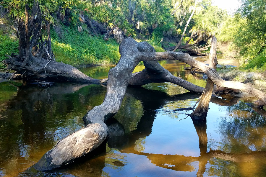 Trees blown down in Joshua creek off the Peace river in Arcadia Florida. Photo credit ShutterStock.com, licensed.