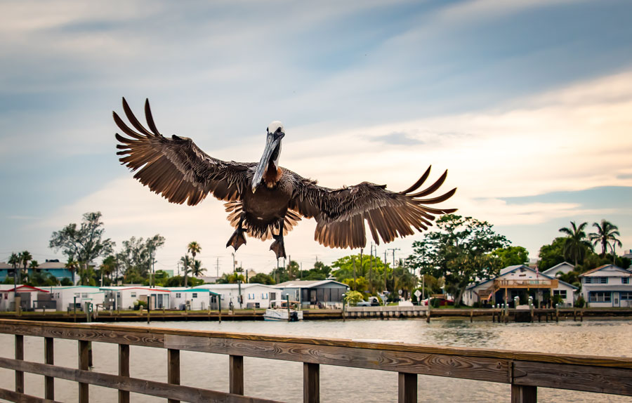 A brown Pelican on the pier at Bradenton Beach in Bradenton Beach Florida as it dazzles the tourists. Photo credit ShutterStock.com, licensed.