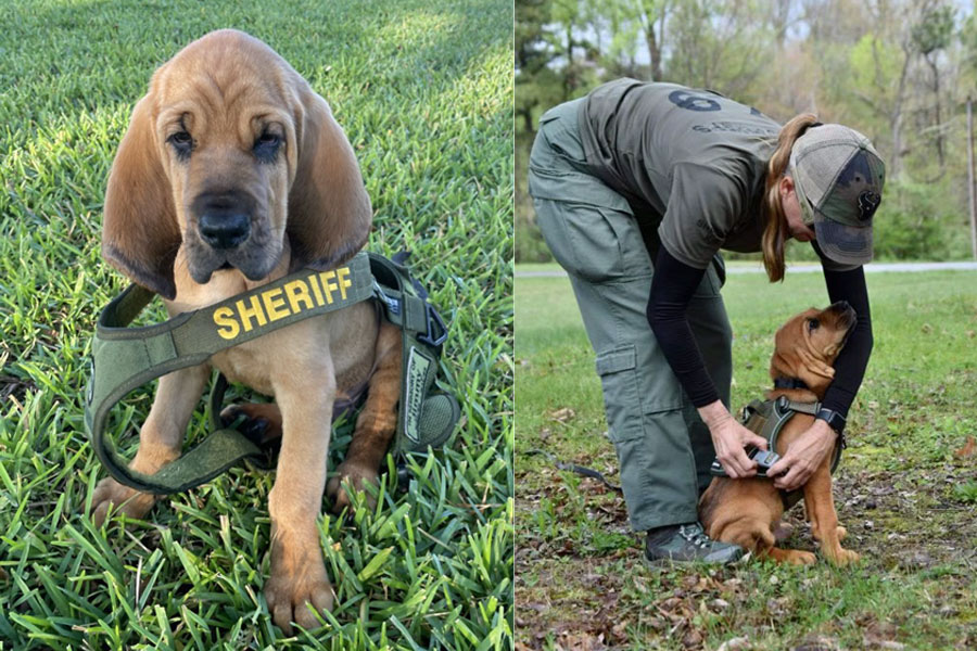 The 10-week-old bloodhound joins Deputy Kelli Covet, as he trains to help search for missing endangered people, such as: children, the elderly, individuals with special needs and individuals living with mental illness.