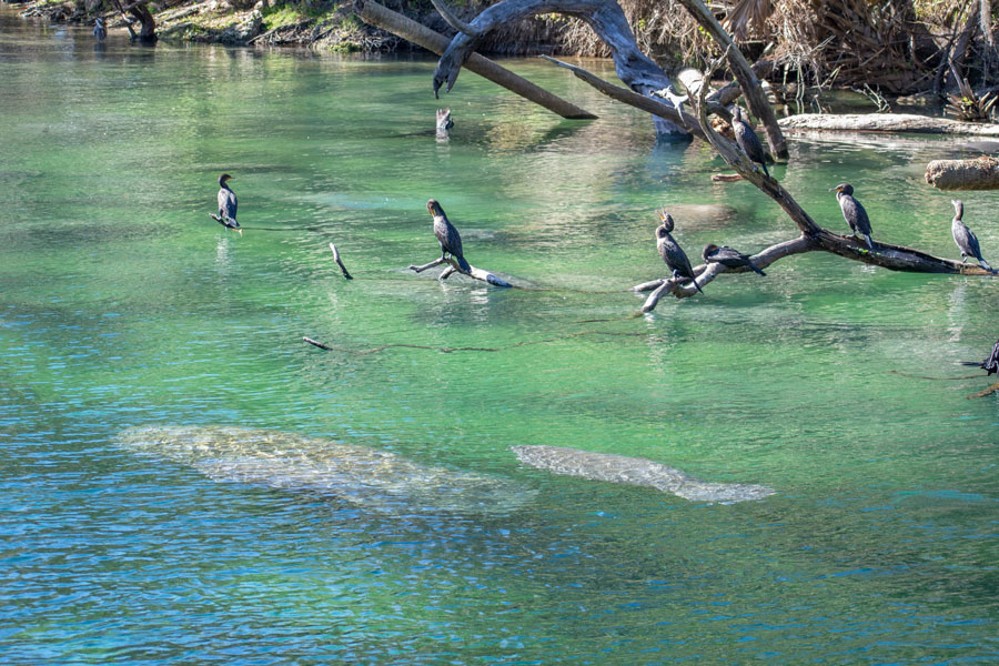 Manatees Swimming Together in Blue Springs State Park Florida. Photo credit ShutterStock.com, licensed.