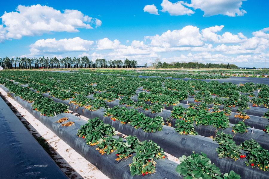 A modern strawberry farm in Florida. File photo: Shutterstock.com, licensed.